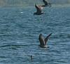 Gulls harassing Cormorant - West Island north