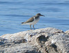 Spotted Sandpiper - West Island north