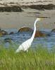 Great Egret - Winsegansett