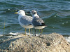 Ring-billed and Laughing Gulls.