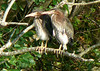 Juvenile Green Herons at Mill Road