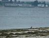 Aug. 23 - Whimbrel at Town Beach