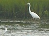 Aug 25 - Great White Heron at Little Bay