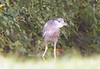 Black-crowned Night Heron at Mill Road 8/31/09