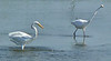 Some of the 15 Great Egrets, 4 Snowy Egrets and 2 Great Blue Herons at Boys Creek (Egypt Lane) on August 26.