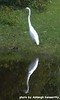 Great White Heron at Long Road, August 31