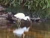 Immature Snowy Egret!