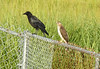 Cooper's Hawk and American Crow