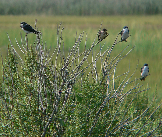 Tree Swallows<br /> Hacker St.<br /> 8/20/05