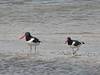 Oystercatchers<br /> Town Beach<br /> 8/31/05<br /> I think they're the<br /> ones whose egg was<br /> eaten by a fox