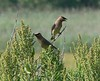 Cedar Waxwings<br /> Hacker St.<br /> 8/20/05