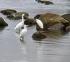 10/13/05<br /> Snowy Egrets<br /> Hacker Street