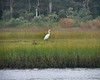 West Island<br /> Great Egret in the marsh