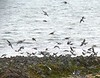 At least a thousand Tree Swallows<br /> on the beach and in the seaweed!