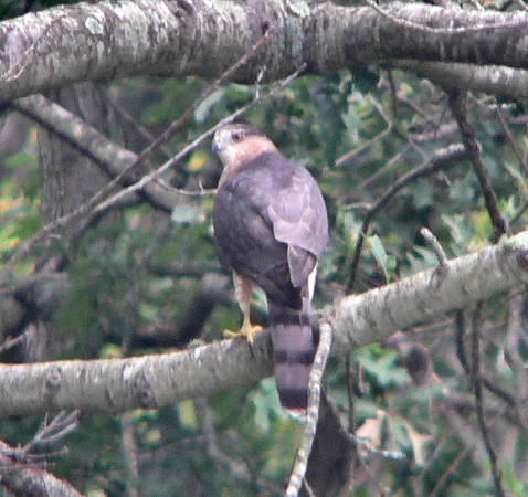 Young Cooper's Hawk in Acushnet backyard practicing chasing oblivious, uncaring squirrel