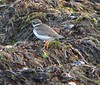 Semi-palmated Plover in Seafood Salad