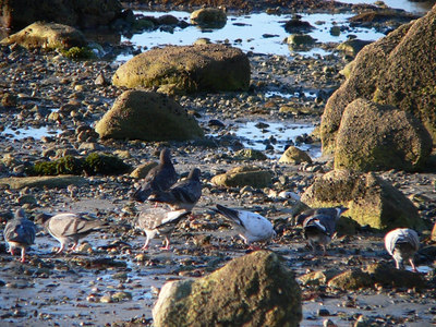 West Island<br /> Pigeons pretending<br /> to be sandpipers