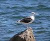 Live Great Black-backed Gull (Stony)