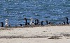 Stony Point<br /> Gull & Double-<br /> Crested Cormorants