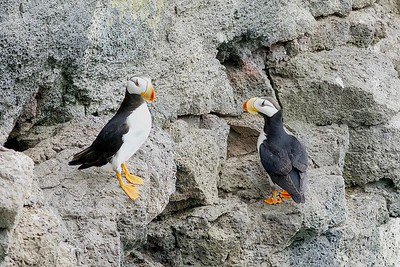 Horned Puffin