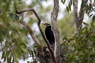 Australasian Darter - Male