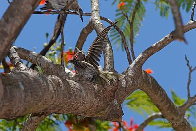 Australasian Figbird - Juvenile