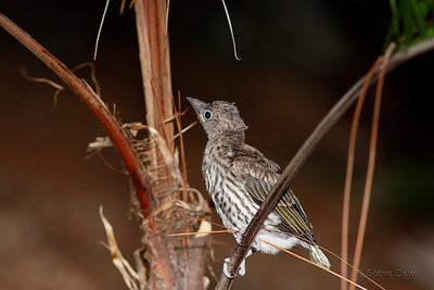 Australasian Figbird - Fledgling
