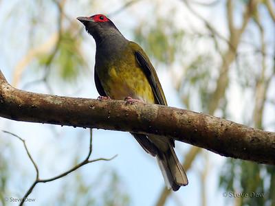 Australian Figbird - Male