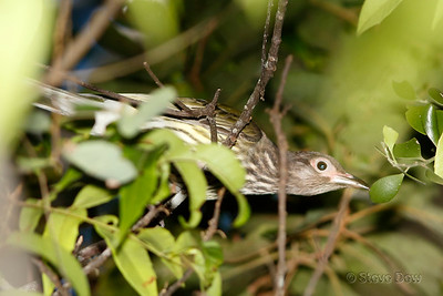 Australian Figbird - Juvenile