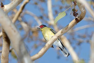 Australasian Figbird Intergrade