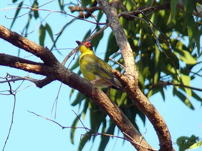 Australian Figbird - Yellow Morph