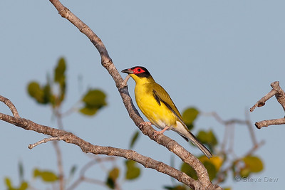 Australasian Figbird - Yellow Sub-species