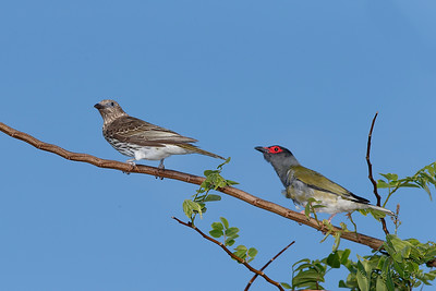 Australasian Figbirds - Female and Male