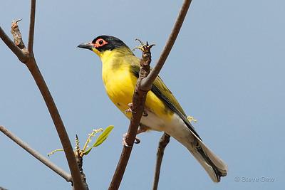 Male Australasian Figbird - Yellow Race