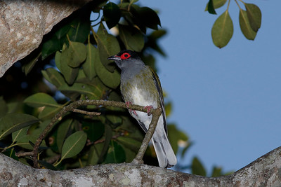 Australasian Figbird - Male