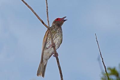 Australasian Figbird - Immature Male