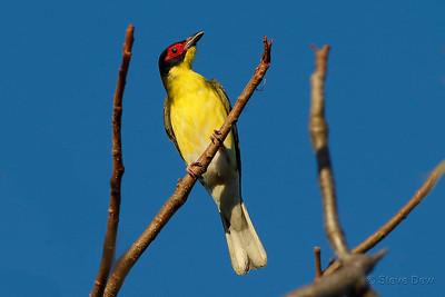 Australasian Figbird - North-western Subspecies