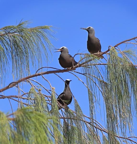 Black Noddies - Green Island, Great Barrier Reef