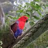 Eclectus Parrot - Female
