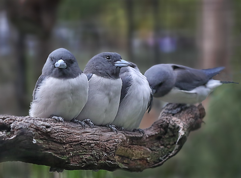White-breasted Woodswallows