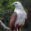 White-bellied Sea Eagle - Juvenile