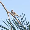 Australasian Figbird - Female