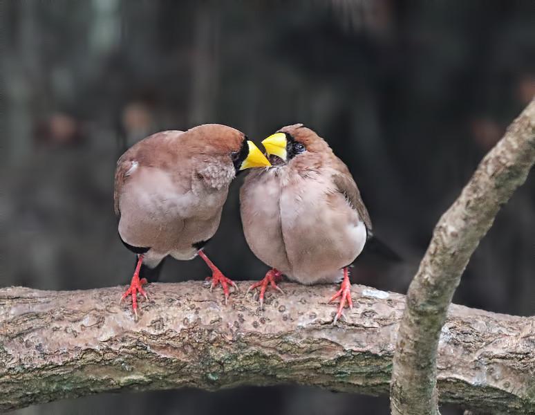 Masked Finch