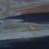 Masked Lapwing - Northern