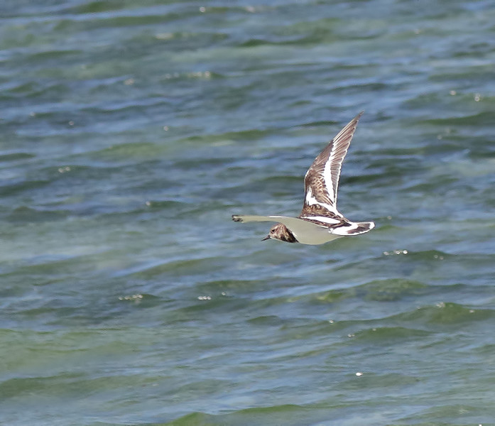 Ruddy Turnstone - Green Island, Great Barrier Reef