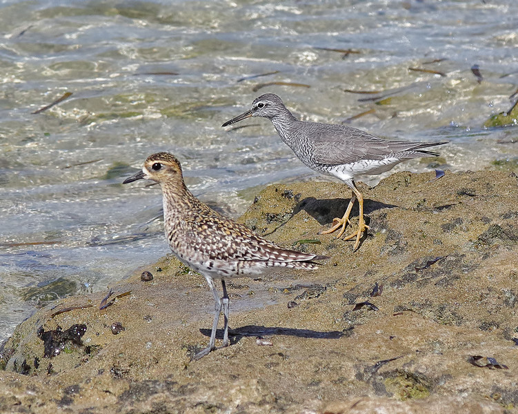 Pacific Golden Plover and Wandering Tattler - Green Island, Great Barrier Reef