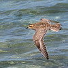 Pacific Golden Plover - Green Island, Great Barrier Reef