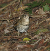 GroundThrush01