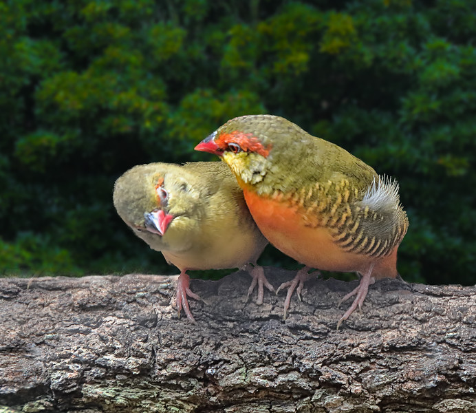 Orange-breasted Waxbill Finch