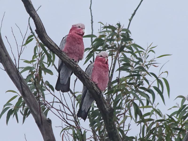 Galah Cockatoos - Blue Mountains, Australia